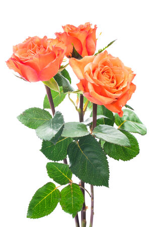 rosas naranjas: Rosas de color naranja aislados en el fondo blanco
