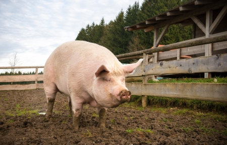 pig tails: Shot of a big pig on a farm