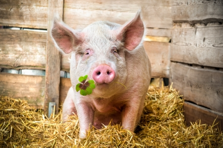 buena suerte: Cerdo en el heno y la paja de tr�bol verde en el hocico Foto de archivo