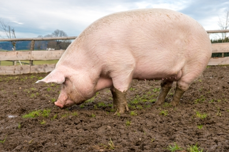 pigpen: Side view of a big pig on a farm Stock Photo