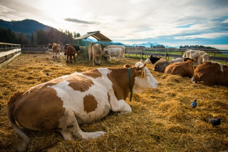 domestic scene: Cows lying on the ground having a rest on a farm Stock Photo