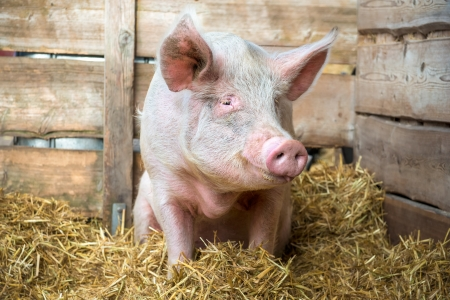 pig tails: Pig on hay and straw at pig breeding farm Stock Photo