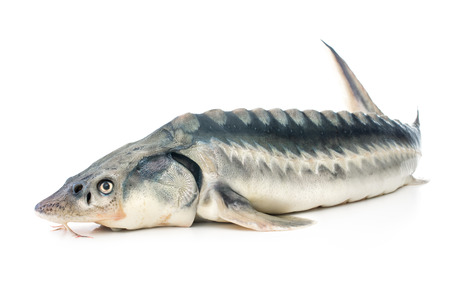 Fresh sturgeon fish isolated on white background