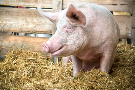 pigpen: Pig on hay and straw at pig breeding farm Stock Photo