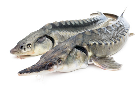 sturgeon: Fresh sturgeon fish isolated on white background