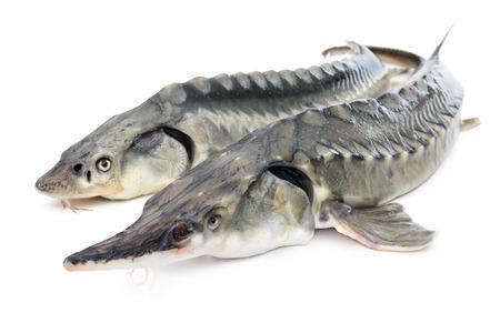 caviar: Fresh sturgeon fish isolated on white background