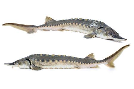 Frischer Stör Fisch isoliert auf weißem Hintergrund