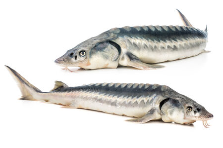 Fresh sturgeon fish isolated on white background photo
