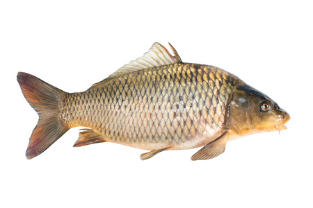 白い背景に分離された共通のコイの魚