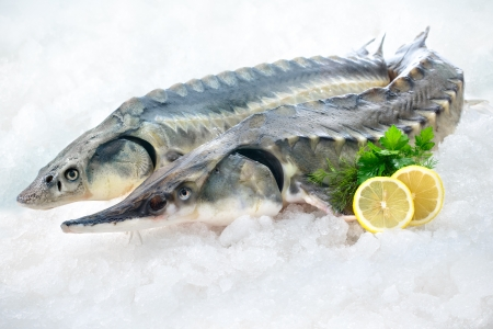Fresh sturgeon fish on ice with lemon and parsley