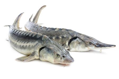 Verse steur vis op een witte achtergrond Stockfoto