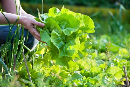 woman gardening: woman picking fresh salad from her vegetable garden Stock Photo