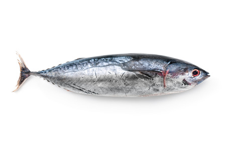 Tuna isolated on white background. Thunnus thynnus saltwater fish