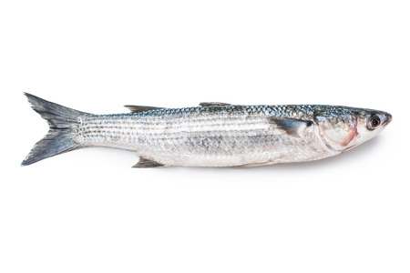 fresh grey mullet on a white background photo