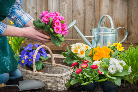 back yard: Gardeners hands planting flowers in pot with dirt or soil at back yard Stock Photo