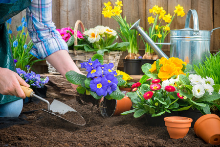 landscape garden: Gardeners hands planting flowers in pot with dirt or soil at back yard Stock Photo
