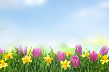 Spring narcissus and tulips flowers in green grass on blue sky background photo