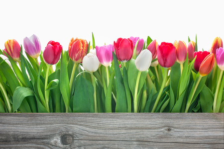 spring tulips flowers with copy space for your message Imagens - 26782226