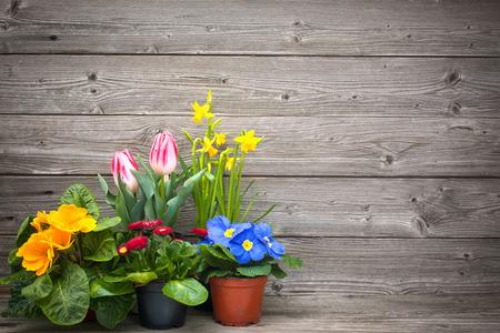 木製の背景の鉢花を春します。チューリップ咲き乱れます、水仙