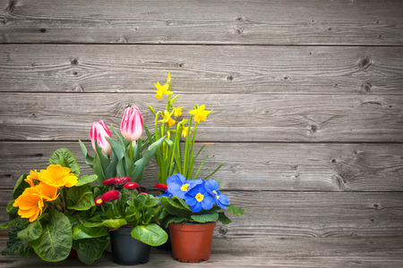 primulas: spring flowers in pots on wooden background. Tulips, primulas, daffodils