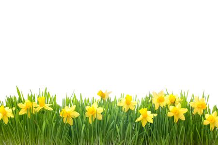 緑の芝生の白い背景で隔離の春の水仙の花