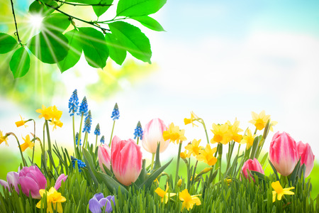 tulipan: colorful spring flowers with green grass outdoors Zdjęcie Seryjne