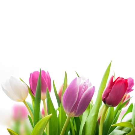 spring tulips flowers on the white background photo
