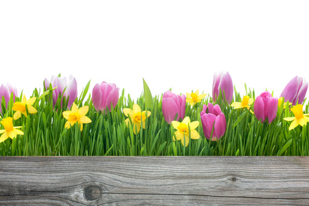 spring tulips and daffodils flowers with copy space for your message photo