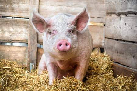 Pig on hay and straw at pig breeding farm photo