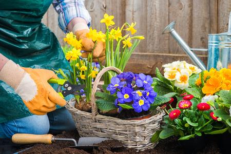 Gardeners handen het planten van bloemen in pot met vuil of bodem op achtertuin Stockfoto