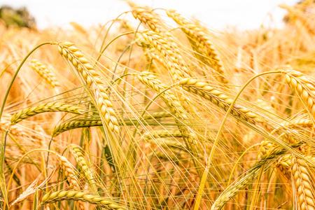 cebada: Campo de grano de cebada está casi listo para la cosecha Foto de archivo