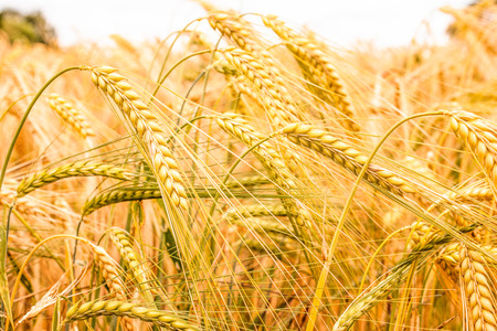 Grain field of barley is nearly ready for harvest Фото со стока
