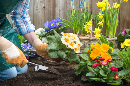 Gardeners hands planting flowers in pot with dirt or soil at back yard Standard-Bild