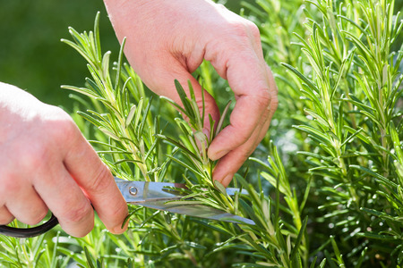 gathers: Woman gathers fresh rosemary herb in the garden