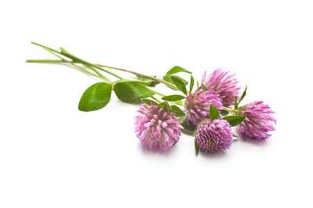 Clover flowers and leaves isolated on white photo