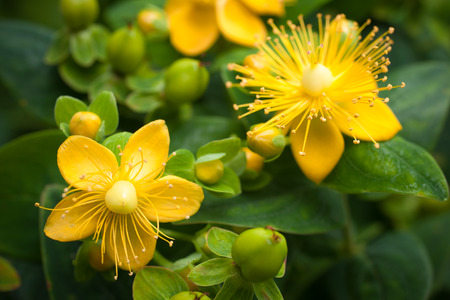 St. Johns Wort flowering plant in the background of green leaves photo