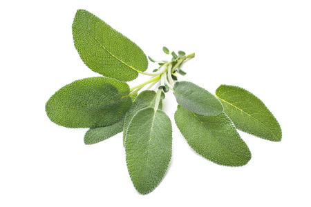 salvia: Bunch of fresh sage herb isolated on white Stock Photo