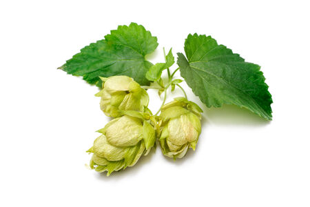 bitterness: Green hop plant isolated on white background Stock Photo