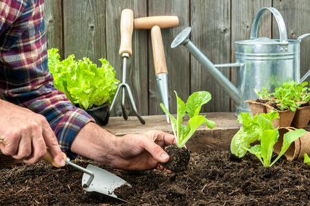 a crop: Farmer planting young seedlings of lettuce salad in the vegetable garden