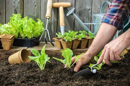 giardinieri: Farmer piantare giovani piantine di insalata lattuga nell'orto