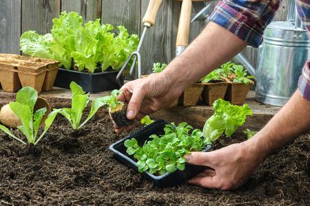 lechuga: Agricultor siembra de plántulas de lechuga en el jardín de verduras