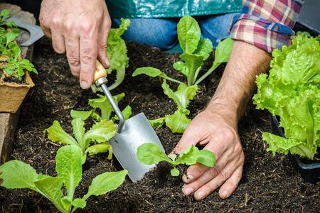 야채 정원에서 양상추 샐러드의 어린 모종을 심는 농부