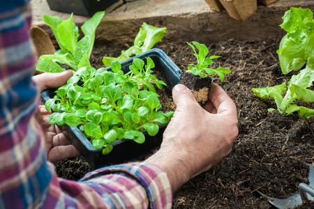 种植莴苣沙拉的农夫幼木在菜园里