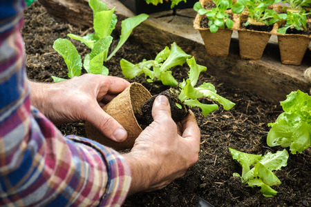 Farmer planting young seedlings of lettuce salad in the vegetable garden photo