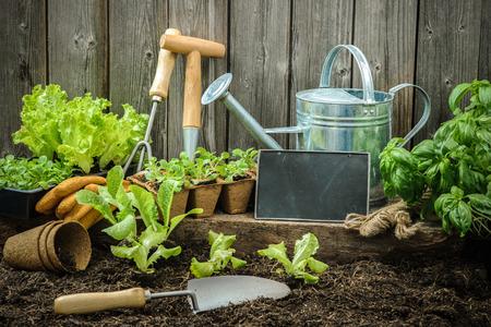 Las plántulas de lechuga con herramientas de jardinería fuera del cobertizo Foto de archivo