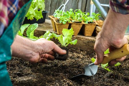siembra: Agricultor siembra de plántulas de lechuga en el jardín de verduras