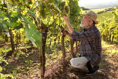 Vigneron dans le chapeau de paille examinant les raisins pendant les vendanges