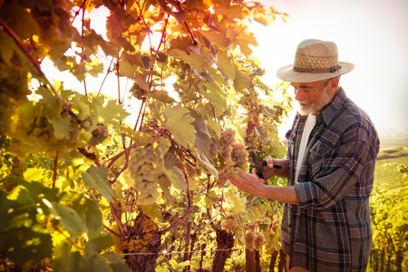 Vintner in straw hat examining the grapes during the vintage 스톡 콘텐츠