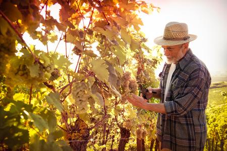 racimos de uvas: Vintner en el sombrero de paja de examen de la uva durante la vendimia Foto de archivo