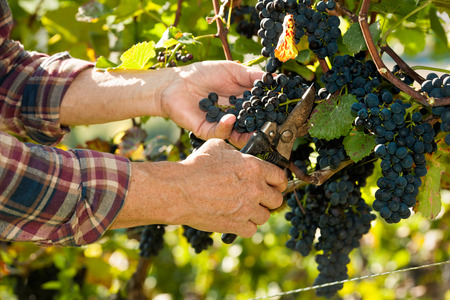 wineyard: Vintner picking grapes with shear at harvest time in the sunshine